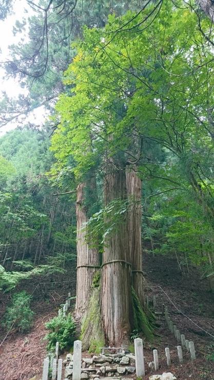 日本一の高さ(62m)を誇る三本杉がお出迎え