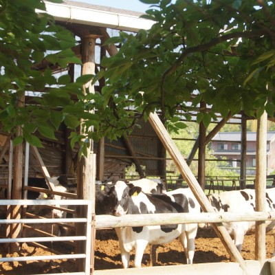 今年のコース:牛さんの横を通ります。