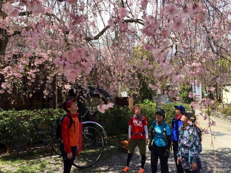 仁和寺の枝垂れ桜