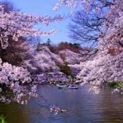 平日のお花見観光ランは中野から神田川、井の頭公園、善福寺公園、中野通りを巡る21km&10km