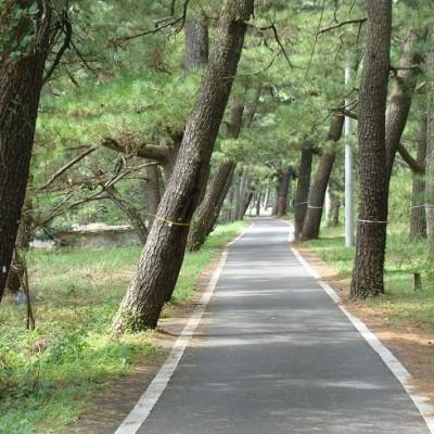 琴ヶ浜の松林
