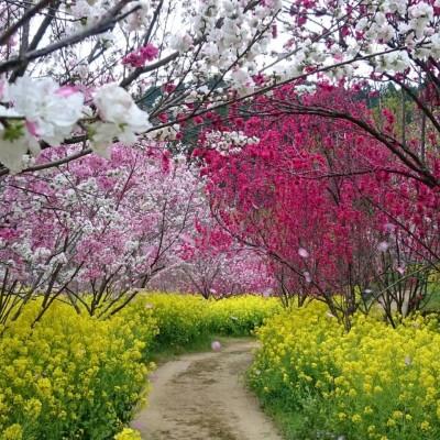 西川花公園にも塩の道のルートです。ちょうど見頃であれば、菜の花・花桃・桜が楽しめます。※昨年は菜の花が見頃でした。お花の開花状況は年により変わります。