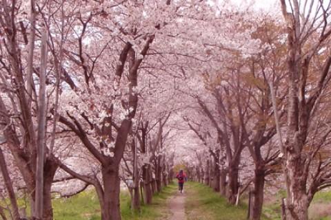 京都 まちなか桜めぐりマラニック 2018