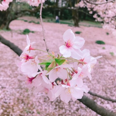 お花見パークヨガ in 新宿御苑 親子参加歓迎