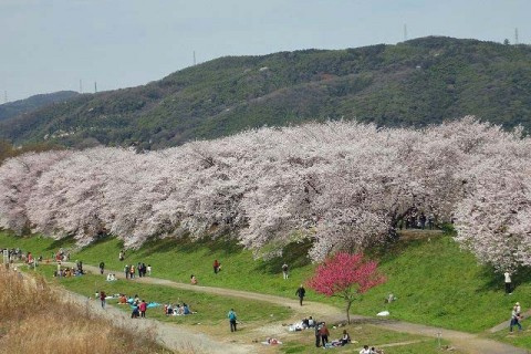 ≪ランde観光≫桜シリーズ(2)[京都]京の水辺!サクラ前線を北へ走る【レベル5】 観光ラン
