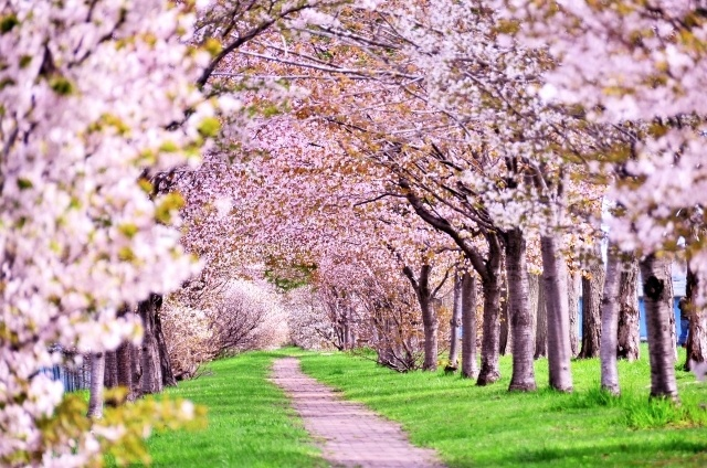 満開の桜をランニング!