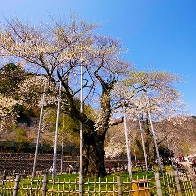 500歳の桜に会いに行く。荘川桜ランコース(高山市)