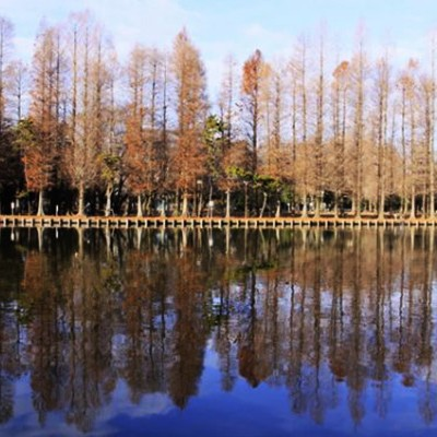メタセコイアの巨木が!別所沼公園コース(さいたま市)