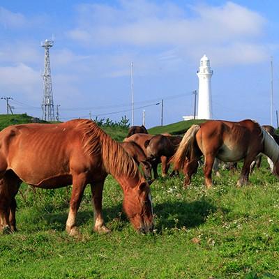 極寒に耐える寒立馬の放牧地・尻屋崎コース(東通村)