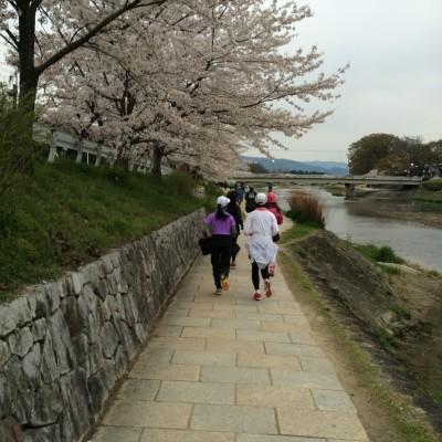 鴨川河川敷、当日は満開の桜の下を駆け抜けられますように!