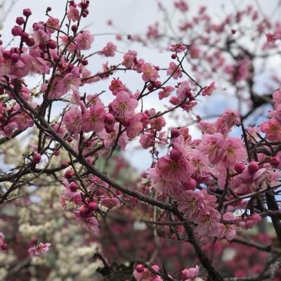 桜が観れるかな?