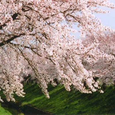 『お花見マラニック』奈良・桜の回廊を走る