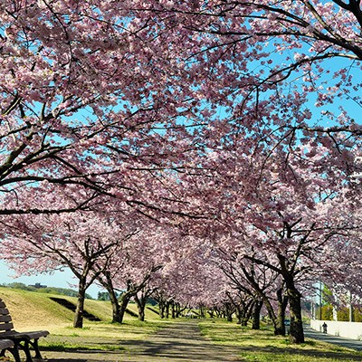 思川(おもいがわ)沿いを走る。桜・菜の花満喫コース(小山市)