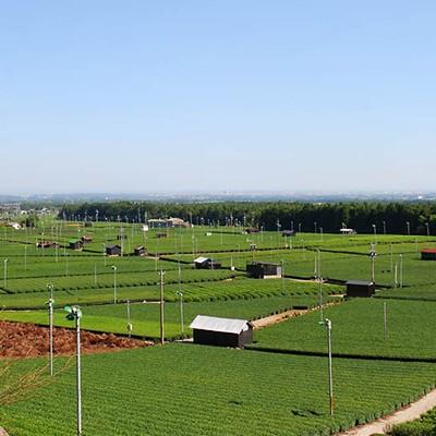 広がる緑の茶畑と鎌ヶ岳山麓・水沢コース(四日市市)
