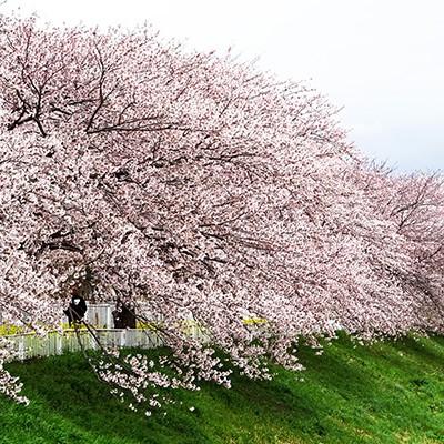 季節の風情を楽しむ五十嵐川河川敷周回コース(三条市)