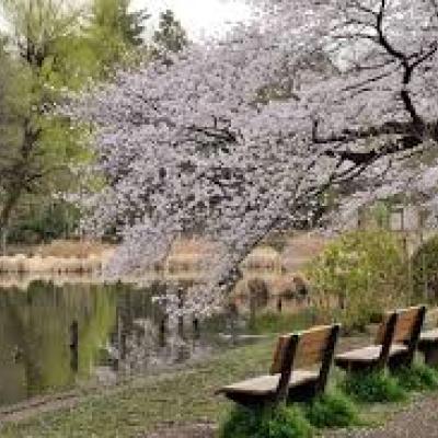 桜と桃とコブシが咲き誇る武蔵野ラン!戦前からの航空機ロケット産業の遺産も巡る30km&21km他