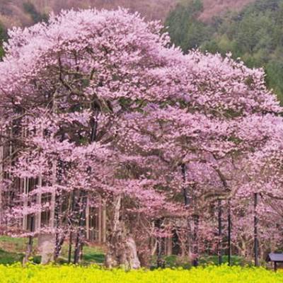 桜の名所を走ってめぐる。高山五大桜コース(高山村)