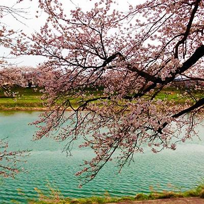 桜並木が8㎞続く、一目千本桜お花見ランコース(大河原町)