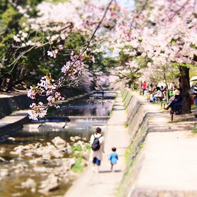桜の名所、夙川河川敷から南芦屋浜コース(西宮市)