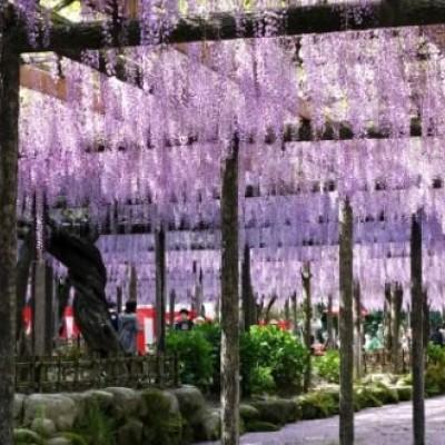 大きな藤棚で有名、天王川公園周回コース(津島市)