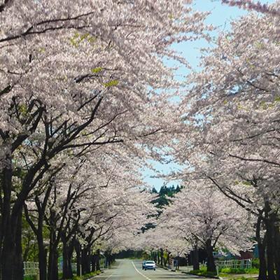 8km続く桜並木・大畑桜ロードコース(むつ市)