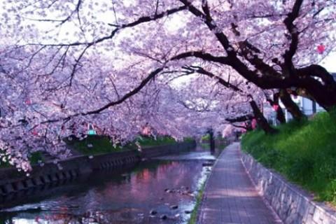 桜並木が続く、五条川沿い遊歩道コース(岩倉市)