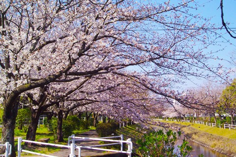6.5km続く桜の道を走る多布施川沿いコース(佐賀市)