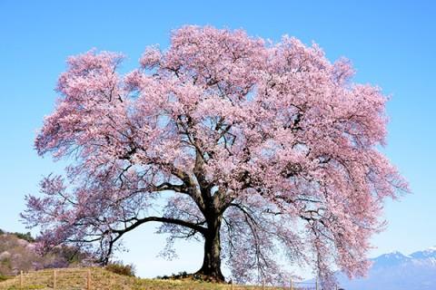ノーベル賞受賞者の美術館と「わに塚の桜」コース(韮崎市)