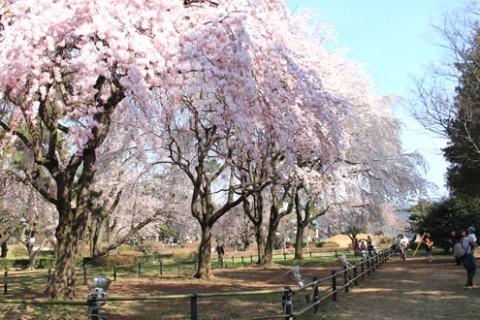 上毛三山を一望!敷島公園の松林周回コース(前橋市)