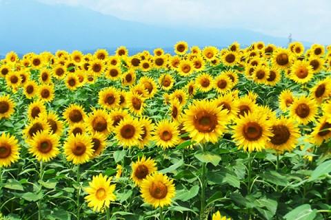 夏は太陽サンサン黄色の世界!明野ひまわりコース(韮崎市)