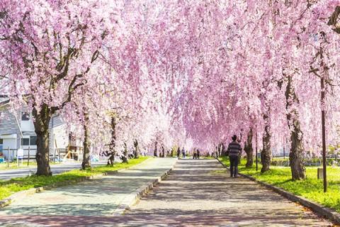 日中線跡・枝垂桜(しだれざくら)満喫コース(喜多方市)