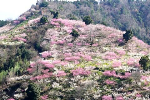 大谷ダムと梅の郷・七折をめぐるコース(砥部町)