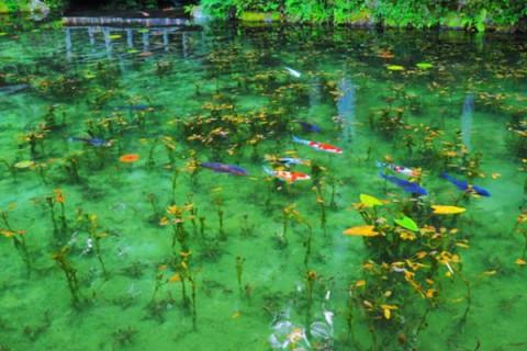 名画「睡蓮」にそっくり!モネの池コース(関市)
