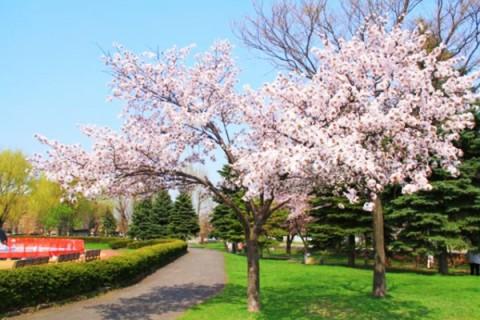 ポプラと桜と白いドーム、農試公園コース(札幌市)