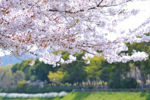 大分川沿いお花見満喫コース(大分市)