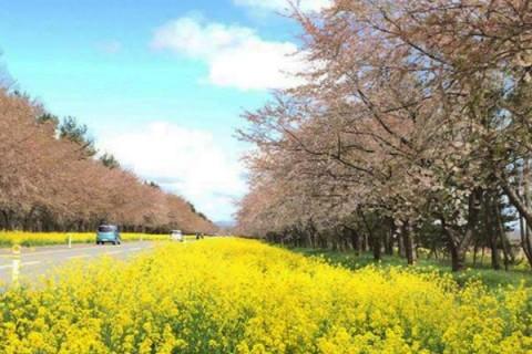 桜はなんと4000本!菜の花ロードコース(大潟村)