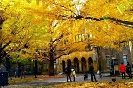 黄葉の名所!東京大学の銀杏並木です。