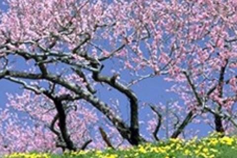 桜花ラン 醍醐寺 音羽山系 瀬田の唐橋 湖国マラニック 約22km (草津 水春 入浴券つき)