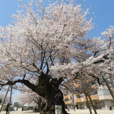 なかでも樹齢100年の天然記念物の桜は圧巻。