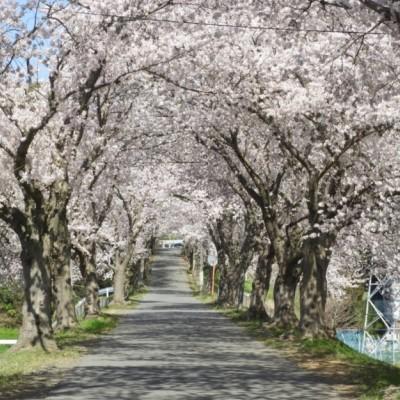 桜並木をサイクリング。