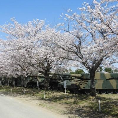 陸上自衛隊土浦駐屯地で年に1度のお花見会見学。戦車と桜という異色の組み合わせも。