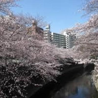 満開の神田川の桜並木です。