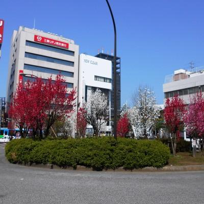中野駅南口の満開の桃園です。