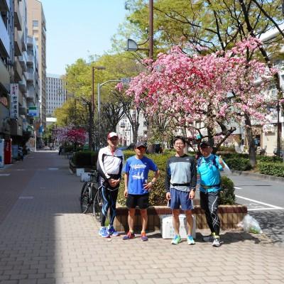早稲田大学正門通りの枝垂れ紅桃の並木です。