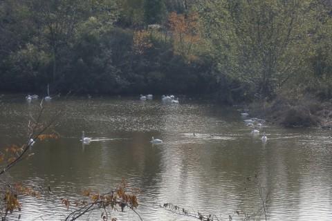 西白井の白鳥を訪ねて  9km (IVVを交付します )  団体歩行