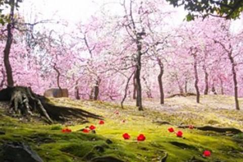 京都 城南宮で しだれ梅を愛でるっ(集団走・約24km)