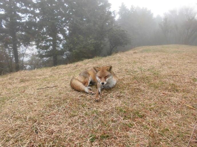 人をおそれない狐