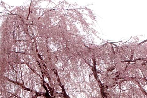 京都 まちなか遅咲き桜めぐりマラニック2020 約28km