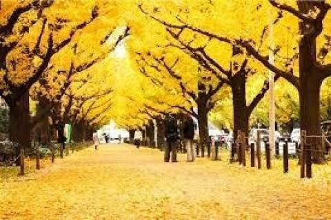 黄葉の銀杏並木と新国立競技場を漫喫!東大、代官山、恵比寿、神宮外苑を巡る21km&10km他
