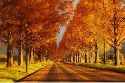 絶景の紅葉 マキノ高原メタセコイア並木と白髭神社 遠足ラン 47~22キロ【サトウ練習会】